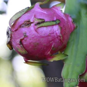 pitaya_dragon-fruit