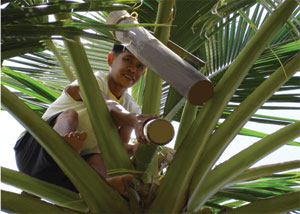 coconut sap