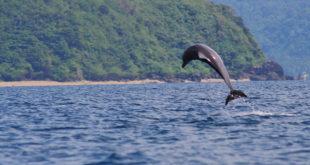 Dolphin  o Lumba lumba sa Brgy San Teodoro, Mabini, Batangas
